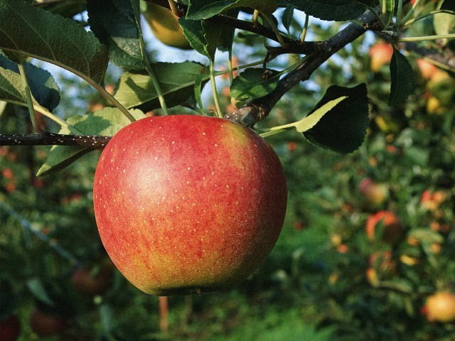 Сорт яблони: Кортланд