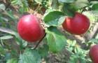 Сорт яблони: Краса Свердловска