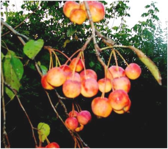 Сорт яблони: Краса степи