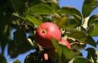 Сорт яблони: Красная горка