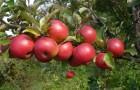 Сорт яблони: Красная гроздь