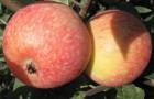 Сорт яблони: Красное раннее