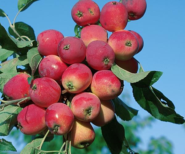 Сорт яблони: Красноярское сладкое