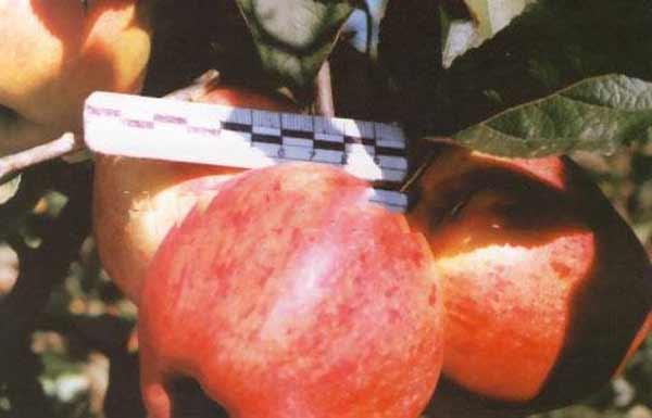 Сорт яблони: Кубань спур