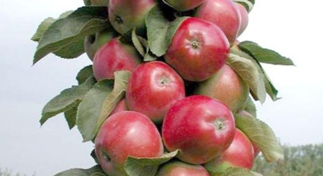 Сорт яблони: Кубань
