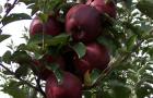 Сорт яблони: Кубанское багряное