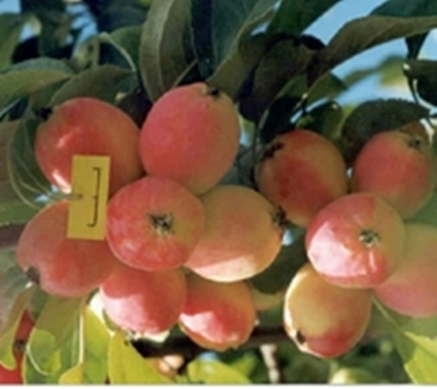 Сорт яблони: Кулундинское