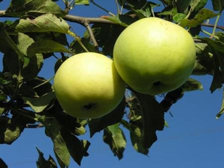 Сорт яблони: Кушнаренковское осеннее