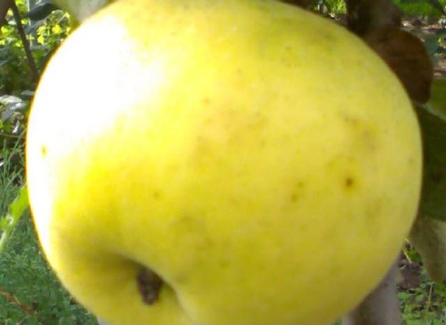 Сорт яблони: Куйбышевское