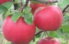 Сорт яблони: Лада