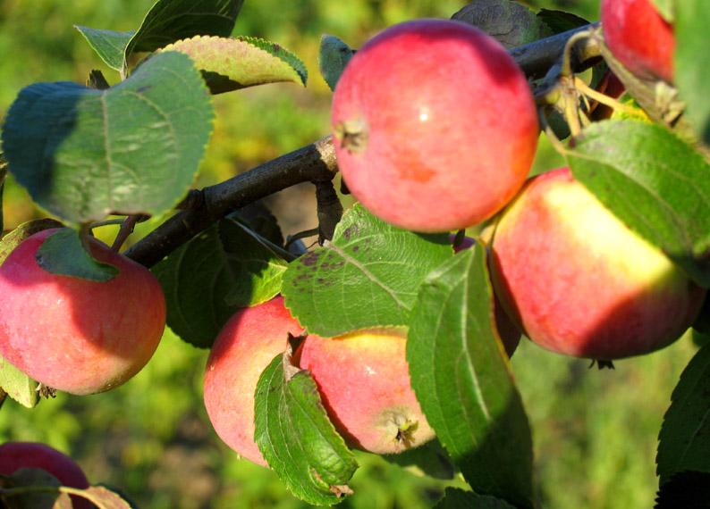 Сорт яблони: Лалетино