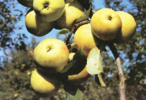 Сорт яблони: Лескен