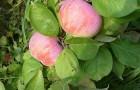 Сорт яблони: Летнее полосатое