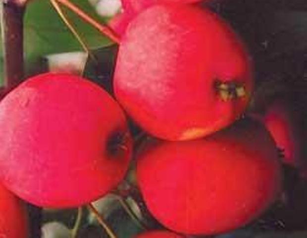 Сорт яблони: Лойко