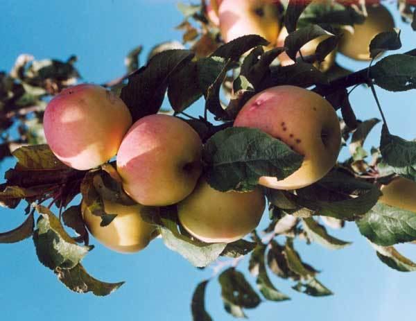 Сорт яблони: Луч