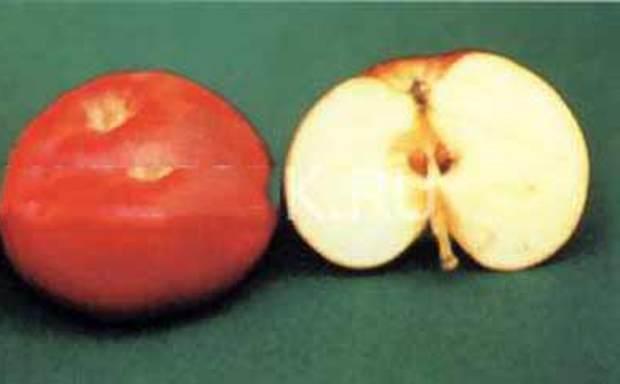 Сорт яблони: Малыченковское (Молодежное)