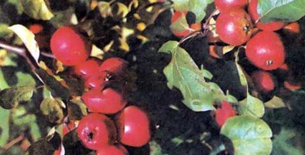 Сорт яблони: Мана