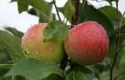 Сорт яблони: Мантет