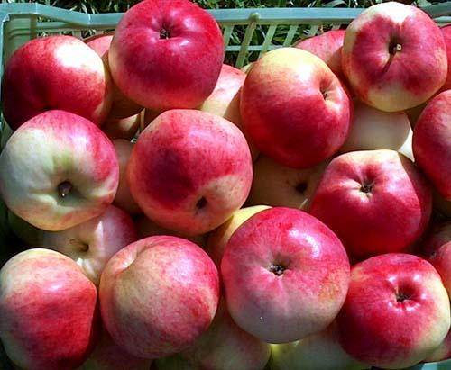 Сорт яблони: Марат Бусурин