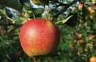 Сорт яблони: Марина