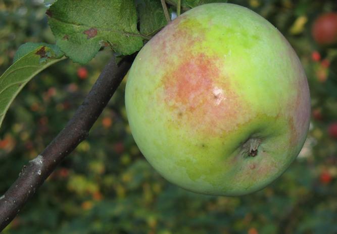 Сорт яблони: Мартовское