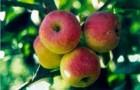 Сорт яблони: Мартьяновское (Саянское)