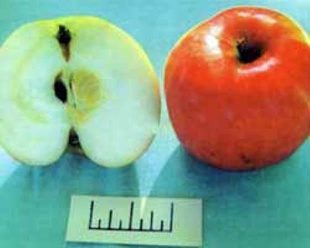 Сорт яблони: Мажорное