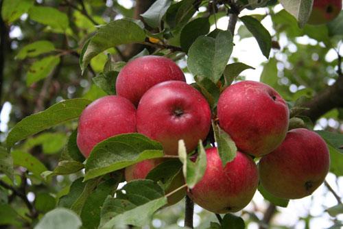 Сорт яблони: Мелба