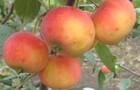 Сорт яблони: Миасское