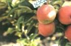 Сорт яблони: Мигинц (Миг-инц, Ледяное)