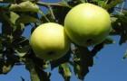 Сорт яблони: Минераловодская