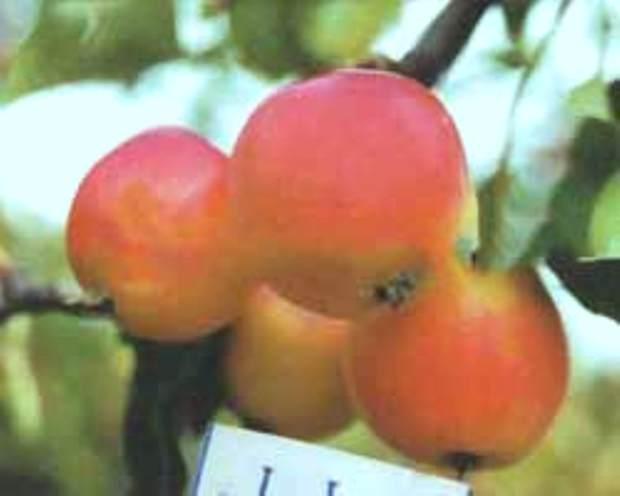 Сорт яблони: Минусинское красное (Минусинка)