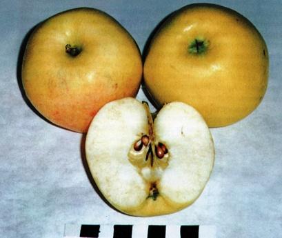 Сорт яблони: Московское позднее
