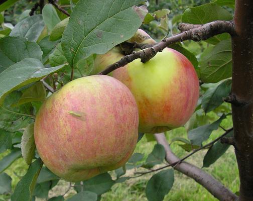 Сорт яблони: Московское зимнее