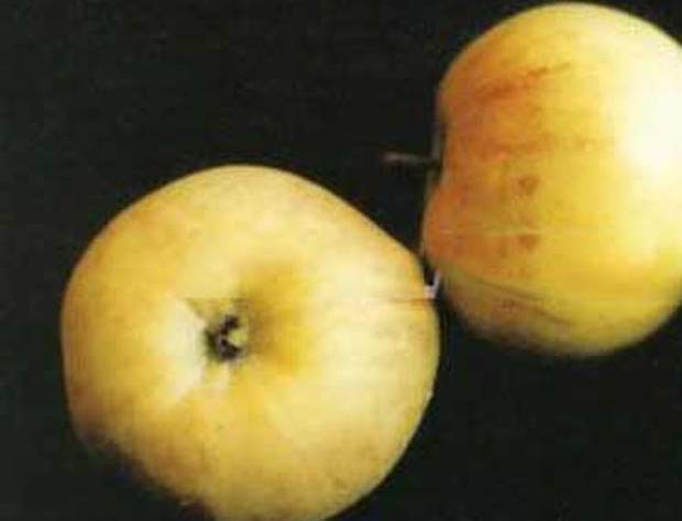 Сорт яблони: Надежда (Таганай)