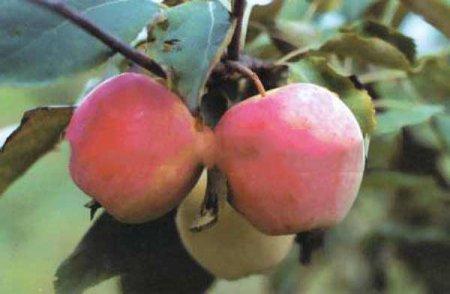 Сорт яблони: Надежное