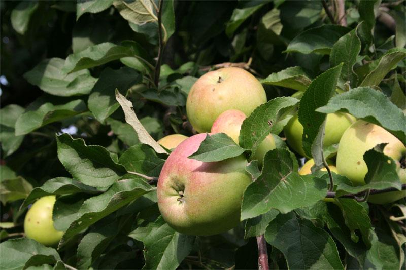 Сорт яблони: Налив амурский