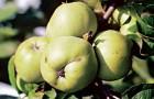 Сорт яблони: Народное