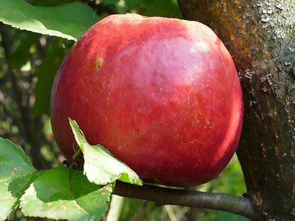 Сорт яблони: Настенька