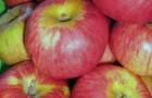 Сорт яблони: Низкорослое