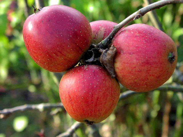 Сорт яблони: Орлик