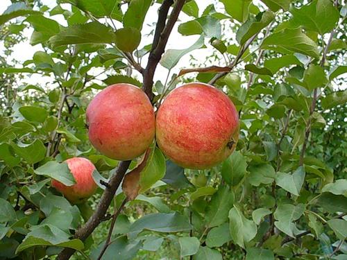 Сорт яблони: Орлинка