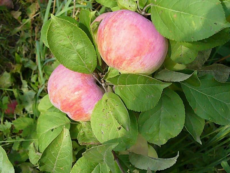 Сорт яблони: Орловим