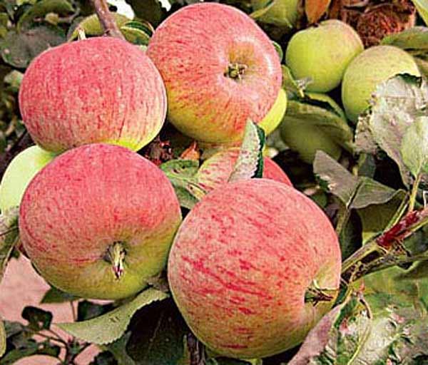 Сорт яблони: Орловский пионер