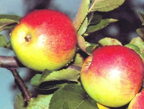Сорт яблони: Орловское полесье