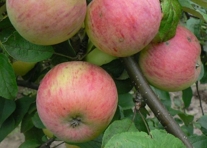 Сорт яблони: Осеннее полосатое (Штрейфлинг, Штрифель)