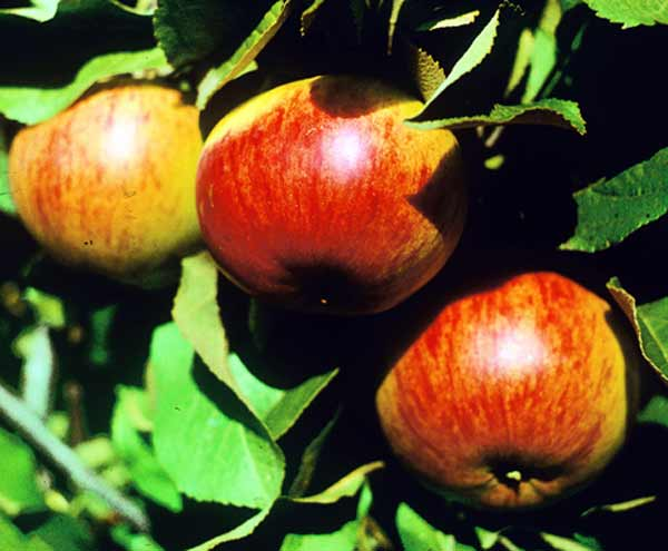 Сорт яблони: Осенняя радость