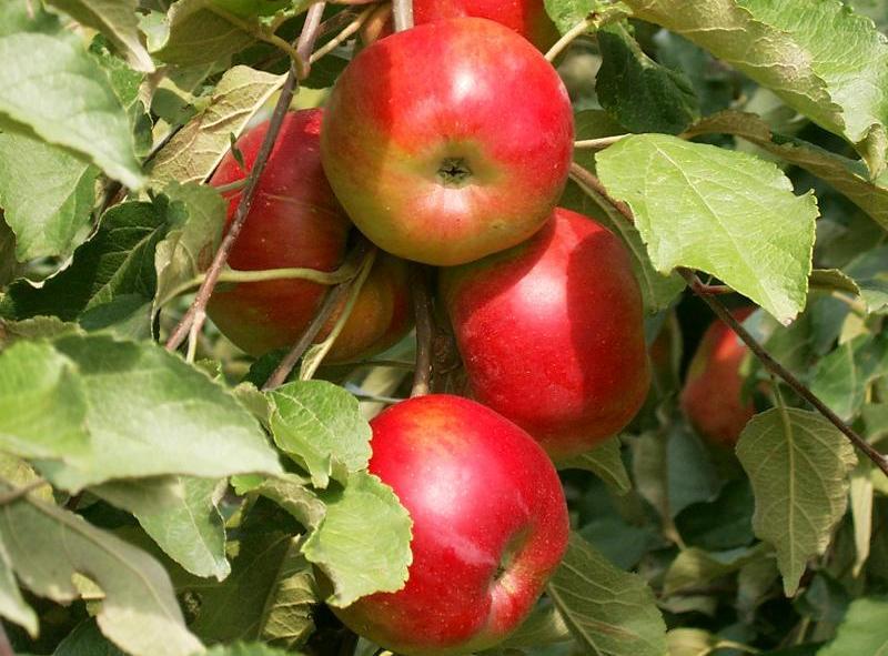 Сорт яблони: Останкино