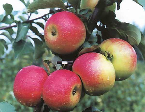 Сорт яблони: Память Семакину