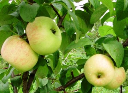 Сорт яблони: Память Жаворонкова